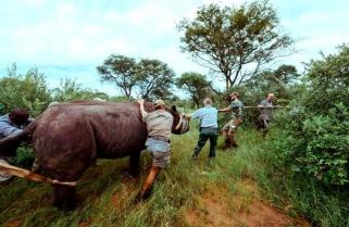 Black Rhinos Are Back in Rwanda