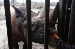 Manny, the Rhino in Akagera Park Succumbed to Illness – EAZA