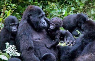 Rwanda Kick Starts Tourism with Promotional Permits to See Mountain Gorillas