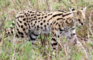 Know Your Cat Family: A Leopard Is Mourned, But A Serval Cat Died