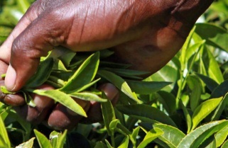 Rwanda's Tea Scoops Highest Premium Price at Mombasa Auction