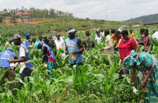 After RDF Contains 'Army Worm' another Crop Pest Emerges