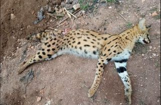 Curiosity Killed The Cat, Death of A Huye Leopard