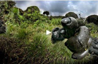 "Ellen DeGeneres Fund Offers ""Gorillapalooza"" – Free Gorilla VR Trek"