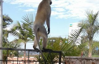 Monkey Menace: Huye Residents Rattled by Rampaging Apes