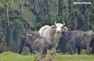 Rare White Buffalo in Rwanda's National Park