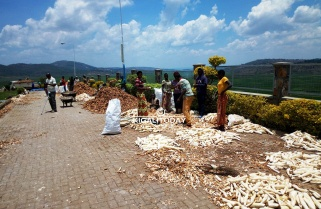 Cassava Farmers Condition Kinazi Factory to 'Pay on Spot'