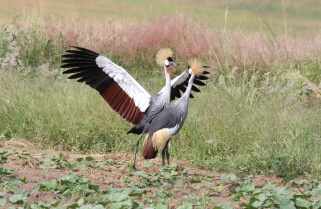 Rwanda Issues Last Warning to Poachers of Endangered Grey Crowned Cranes