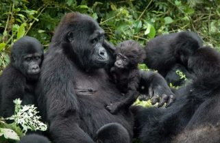 Kwita Izina2020: 24 Baby Gorillas Will Be Named Online