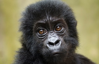For Rwanda, more mountain gorillas means more revenues