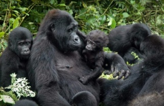 Kwita Izina: You Can Name a Baby Gorilla Using Twitter