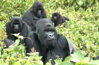 World Panics Over Gorilla Extinction,Rwanda Safe
