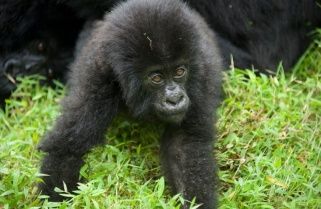 Big Party in Rwanda today as 24 Baby Gorillas are named