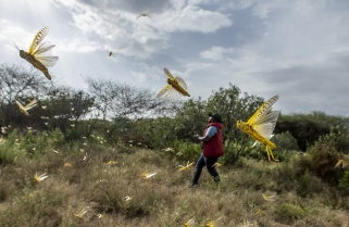 Rwanda Will Not See Desert Locusts Attack Soon- FAO