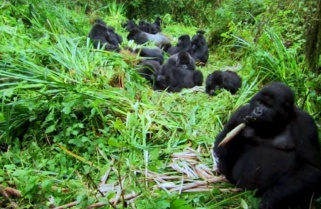 Rwanda Could Purchase More Land For Gorillas
